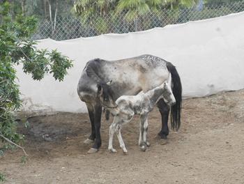 Foal-Noelle-3-3-08-1W350