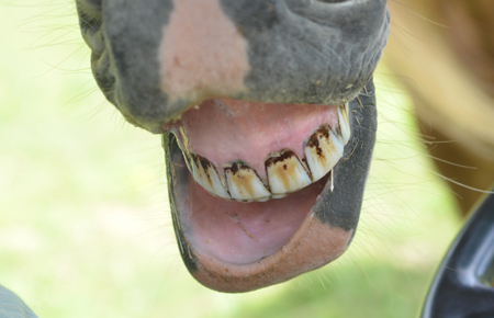 At Last The Truth About Your Horses Teeth The Soul Of A Horse Blog