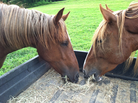 Image result for horse eating hay
